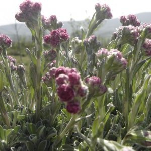 "Antennaria Dioica""Rotes wunder""""pied de chat"""