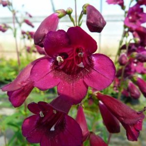 Penstemon x Black Bird